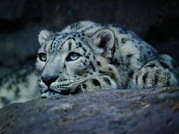 Snow Leopard in China