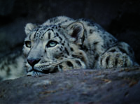 snow leopard, wildlife in China